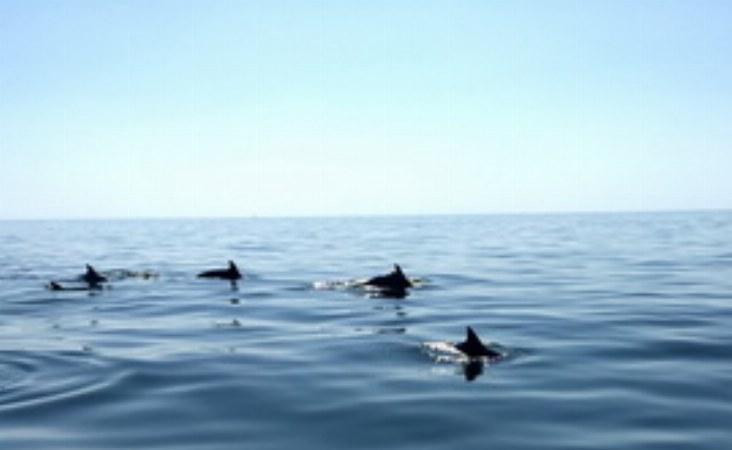 Die Gewässer um Oman sind Heimat vieler Delfine, die man mit etwas Glück bei einer Bootstour beobachten kann.