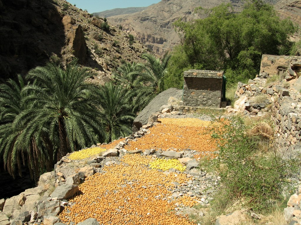Die Datteln in Oman werden ganz traditionell nur von der Sonne und ohne Zusätze, getrocknet und somit haltbar gemacht.