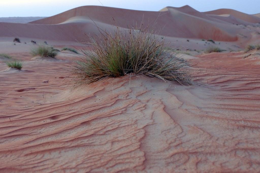 Die Wahiba Wüste wird trotz des ausbleibendem Regens immer grüner.