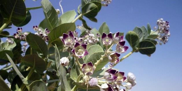 Der Fettblattbaum ist einer der wenigen Pflanzen