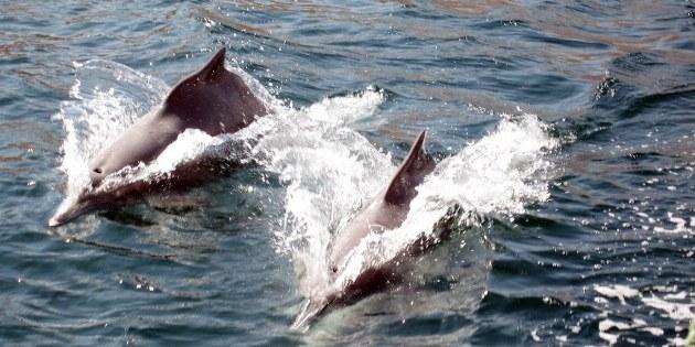 während einer Dhaufahrt wird man oft von Delfinherden begleitet