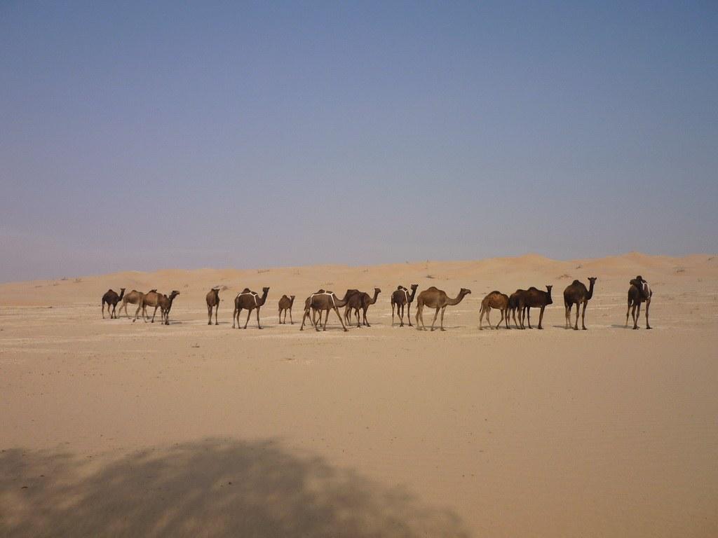 Bei der Fahrt durch die Wüste trefft man immer wieder auf Kamelherden.