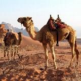 In der Wüste ein unverzichtbarer Begleiter. Die Reitkamele der Wadi Rum.