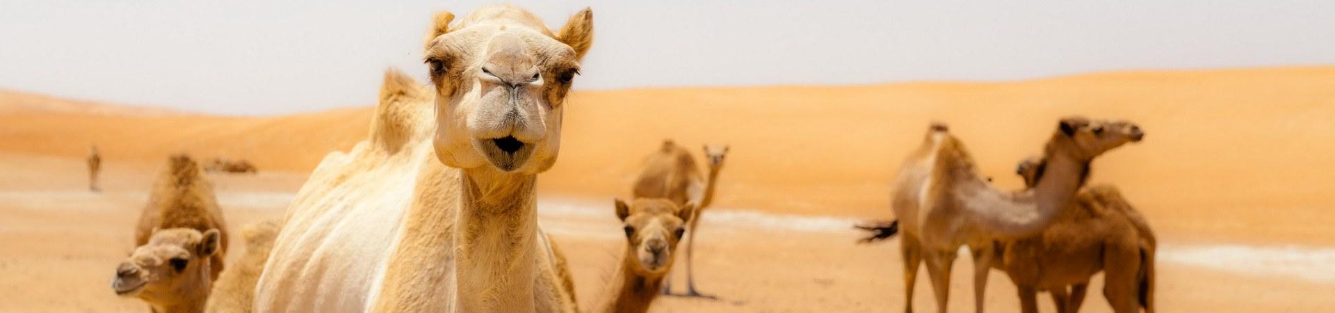Kamele in der Wahiba Wüste