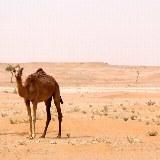 Neugirieges Kamel