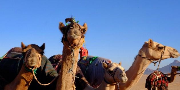 Neugierige Kamele in der Wüste