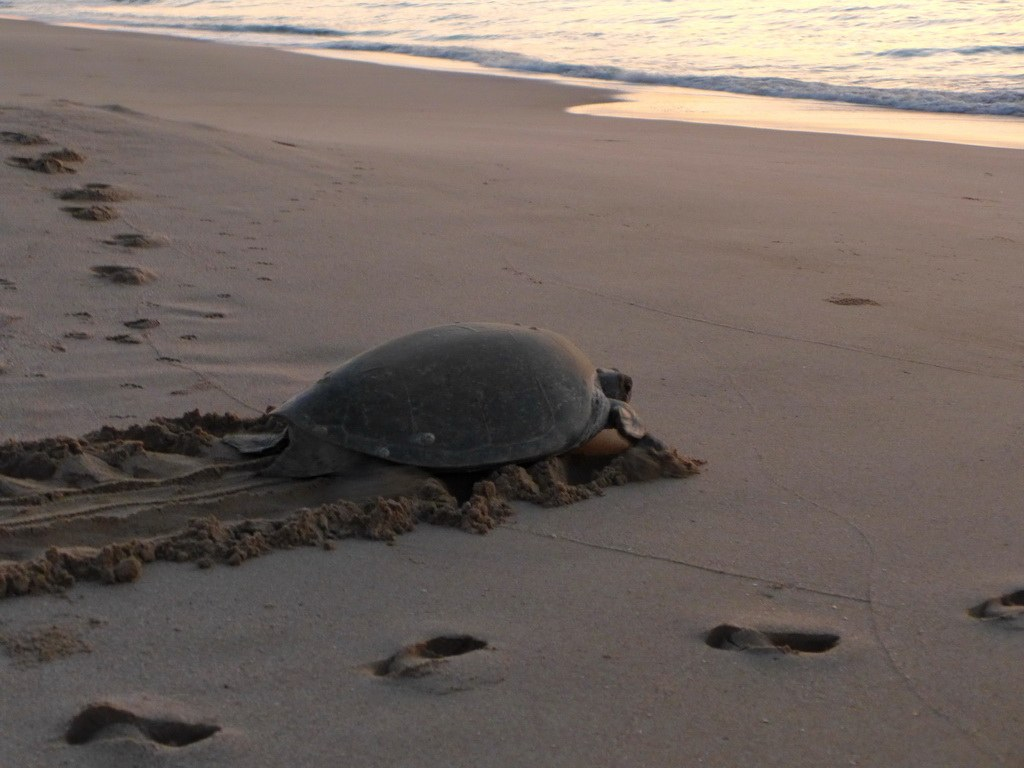 Besonders während der Sommermonate kann man in der Nähe von Ras al Jinz Schildkröten beobachten.