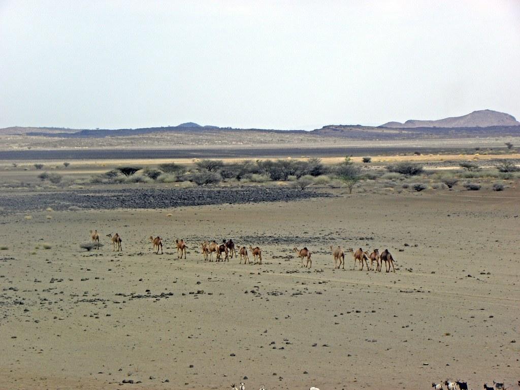 Kamele in Danakil