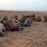 Die Kamele werden gesattelt
