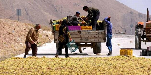 Weintrauben aus der Region Fars werden überall hin transportiert