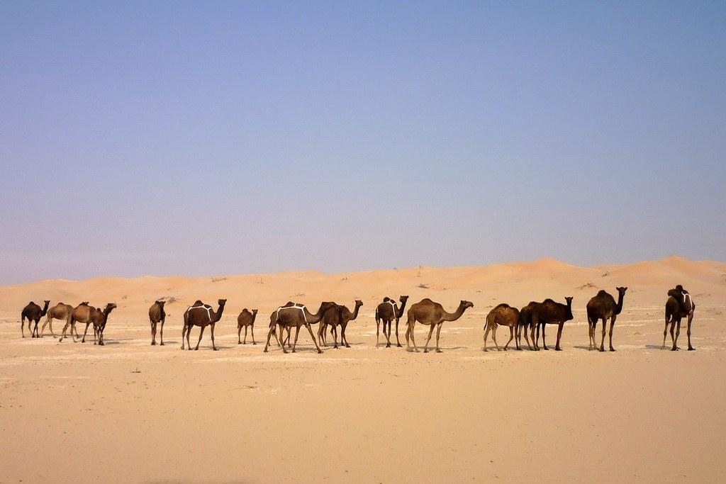 Treue Begleiter seit Urzeiten. Die Kamele in der Rub al-Khali Wüste.