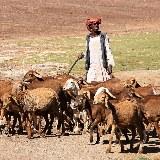 Ziegenhirte mit seinen Tieren