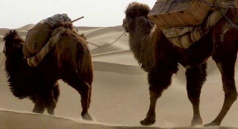 Kameltrekking: Kamele in der Taklamakan