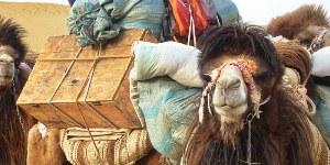 Kamele: freundliche Begleiter auf vielen Reisen